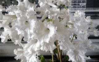 Выращивание Стрептокарпусов