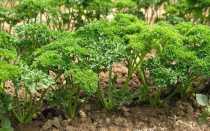 Подкормки петрушки для лучшего роста