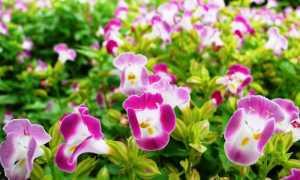 Торения — выращивание из семян и уход в домашних условиях