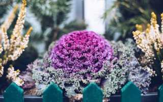 Декоративная капуста: выращивание и уход в домашних условиях
