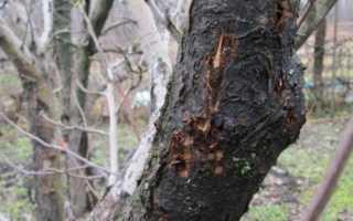 График обработок вишни от болезней и вредителей