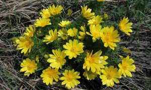 Адонис весенний (горицвет): описание и выращивание