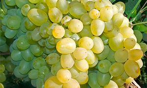 Морозостойкий и простой в уходе виноград Супер Экстра