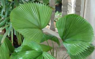 Пальма ликуала: посадка и уход