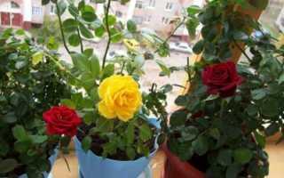 Обрезка комнатной розы, как и когда она происходит