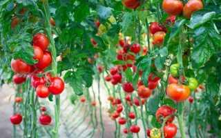 Как определить урожайность сорта по одному кусту