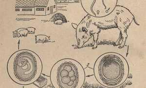 Об аскаридозе свиней